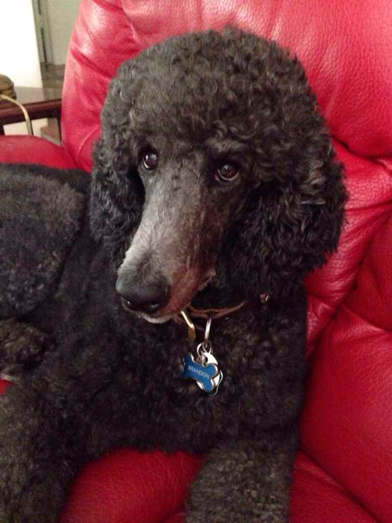 Haircuts Poodle Forum Standard Poodle Toy Poodle Miniature Pictures to ...