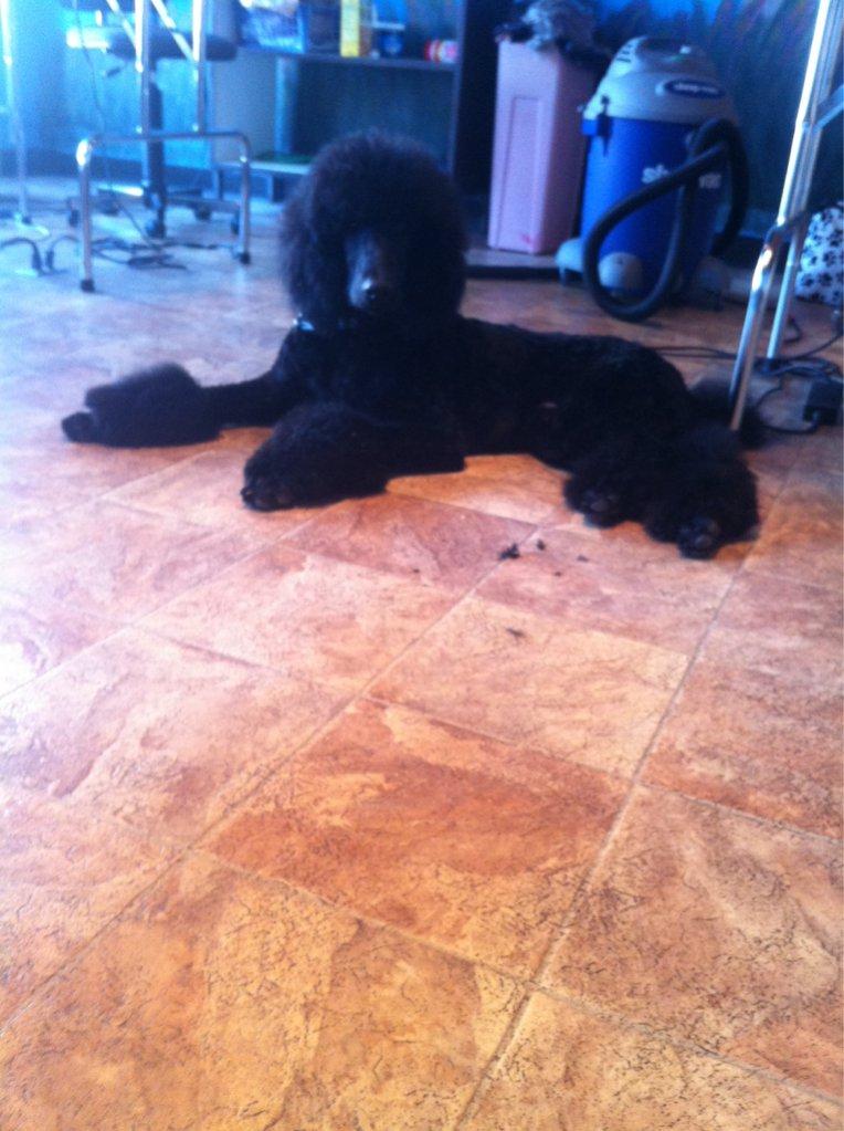 Dash has Uggs - Poodle Forum - Standard Poodle, Toy Poodle ...
