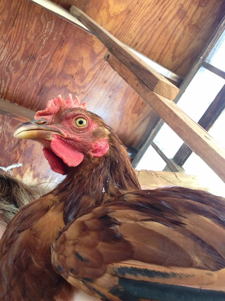 Gold laced polish chicken
