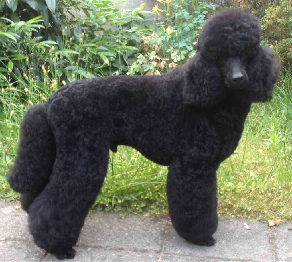 Poodle Cuts / Pictures of different poodle cuts-imageuploadedbypg-free1434814144.512947.jpg