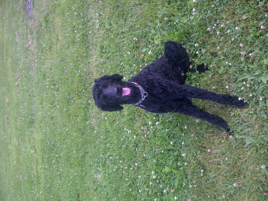 signs of hip dysplasia in standard poodle-img-20110710-00090.jpg