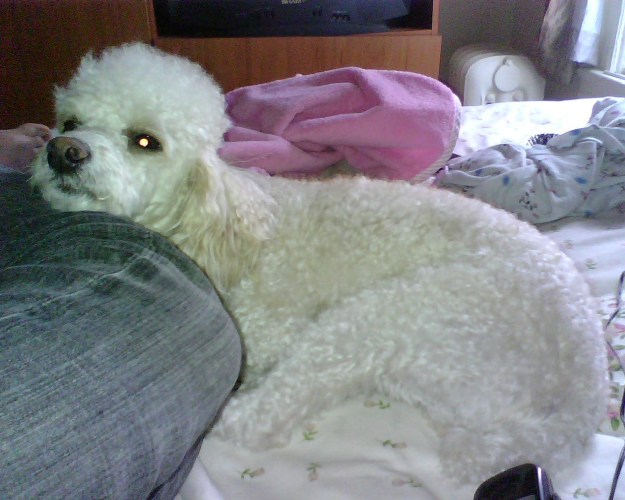 Teddy Bear Puppies Nashville Tn   Dog Breeds Picture