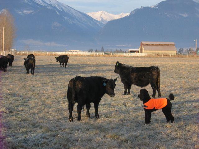 Spoo Herding Cattle-img_0004-louie-herding.jpg