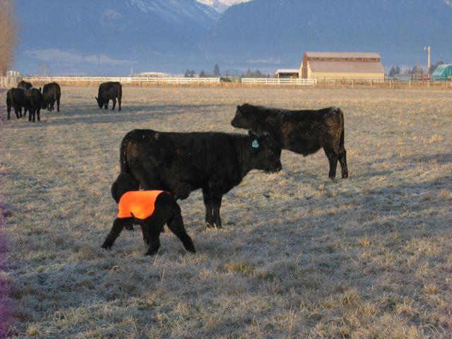 Spoo Herding Cattle-img_0005-louie-herding.jpg