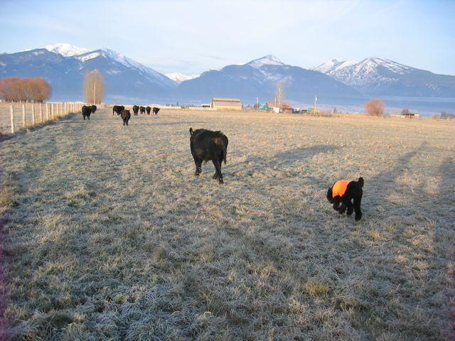 Spoo Herding Cattle-img_0006-louie-herding.jpg