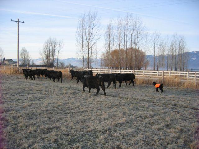 Spoo Herding Cattle-img_0008.jpg-herding-.jpg