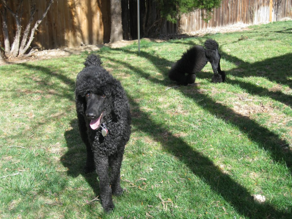 Leroy may NOT be a poodle!!-img_0014.jpg