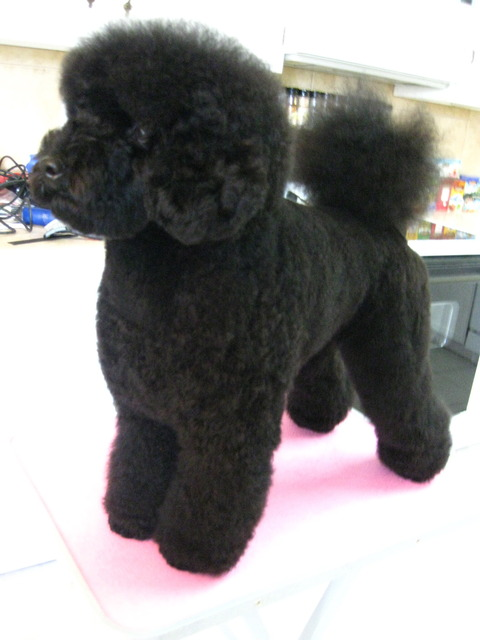 Poodle Cuts Pictures Of Different Poodle Cuts Page 2