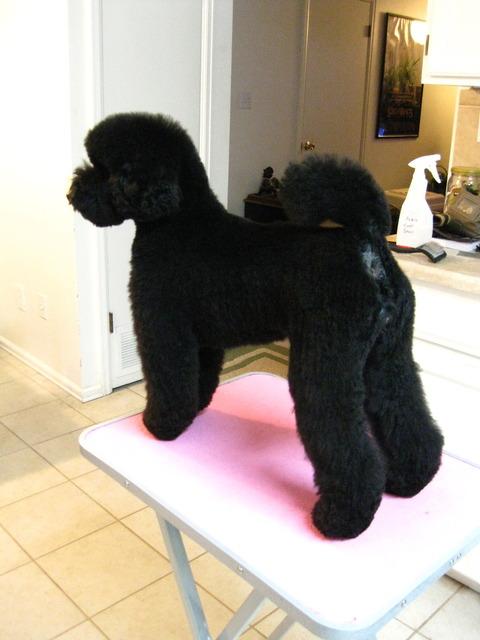 How To Do A Teddybear Clip Poodle Forum Standard
