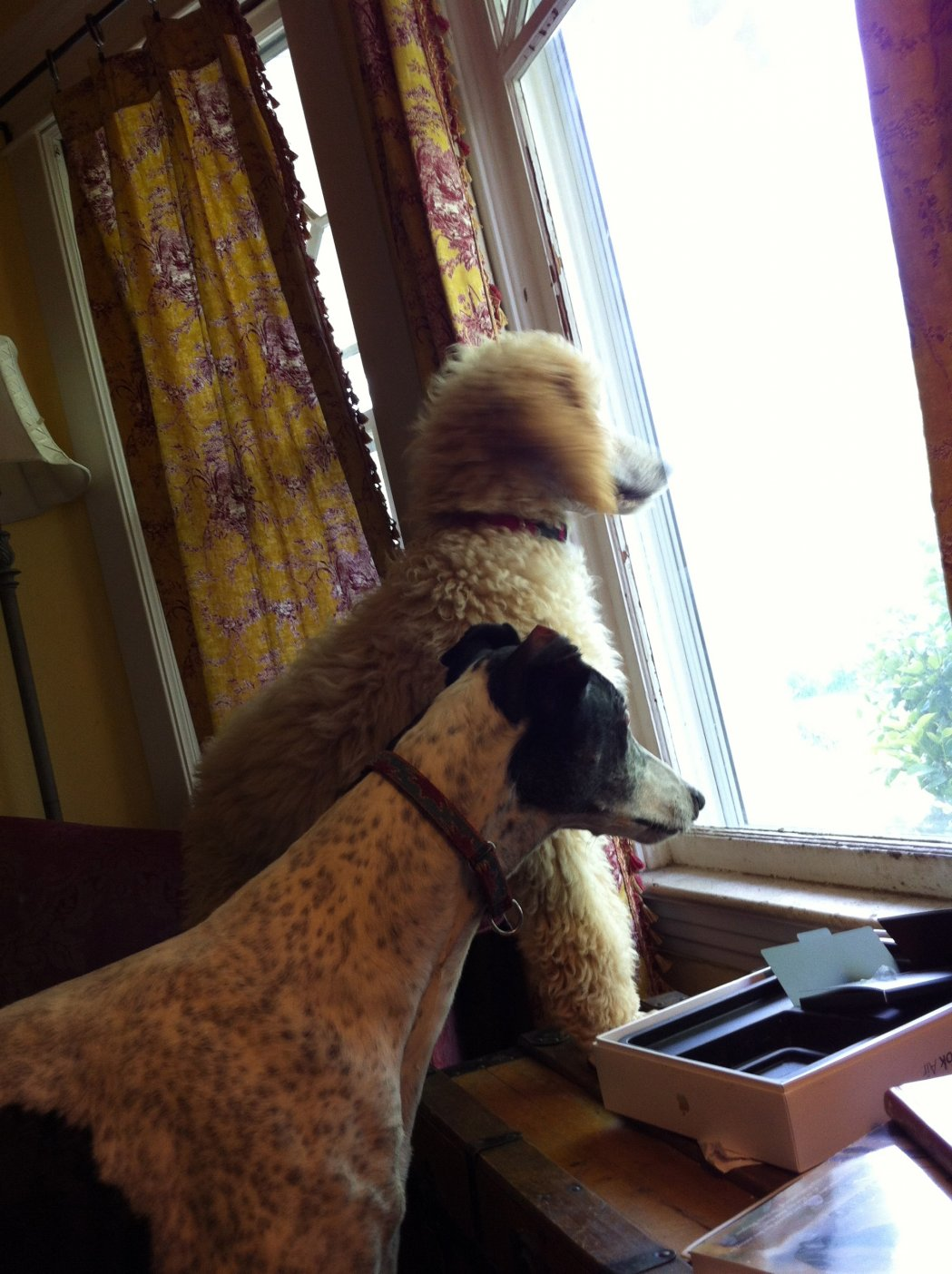 Poodle/Whippet Connection-img_0109.jpg