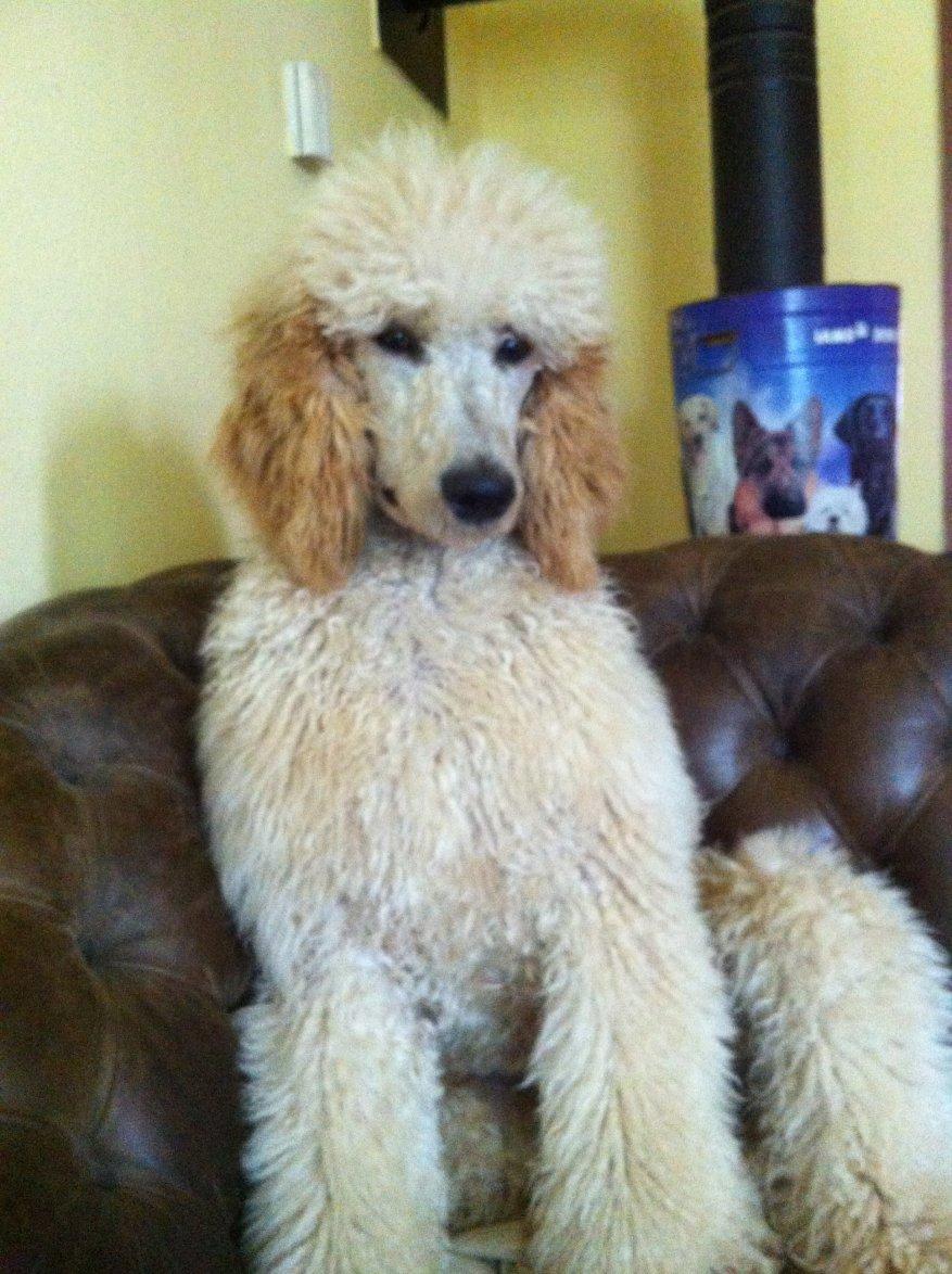 Full grown size poodle forum standard poodle toy poodle full grown size img0181g nvjuhfo Images