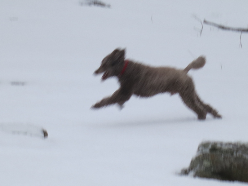 Teddy having fun in snow with new family-img_0684-800x600-.jpg