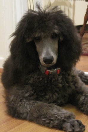 Poodle owner to be-img_0811.jpg