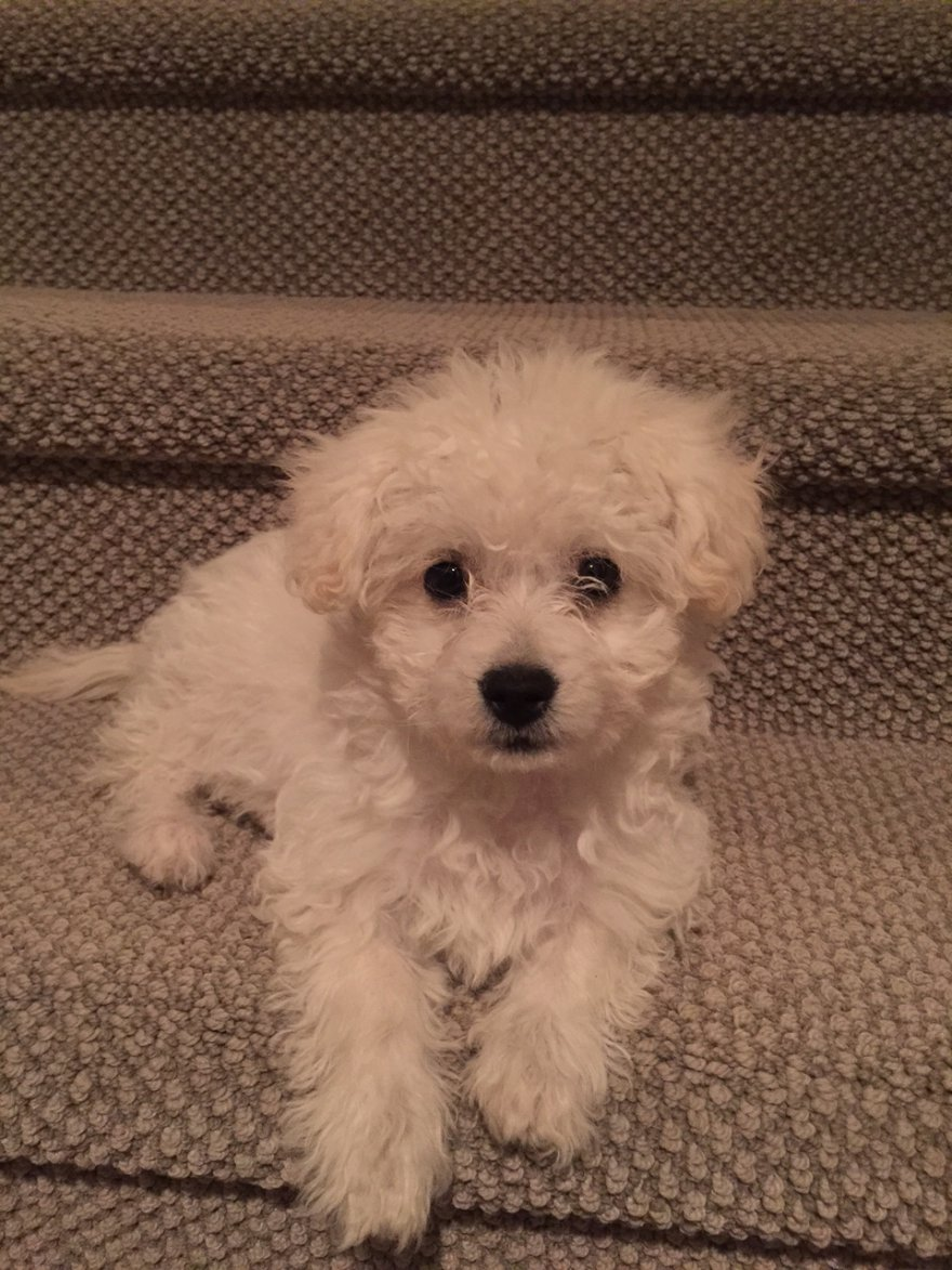Help One Of My Poodle Puppy Ear Starts