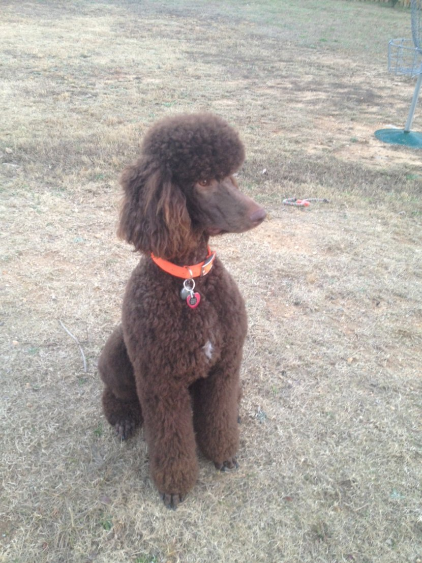 Parker The Chocolate Standard Poodle-img_1401.jpg