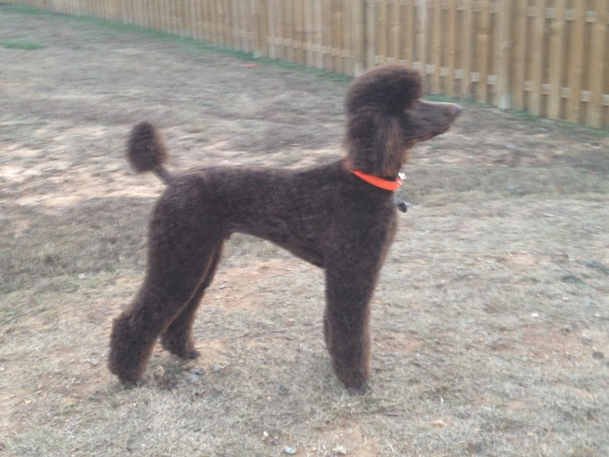 Parker The Chocolate Standard Poodle-img_1402.jpg