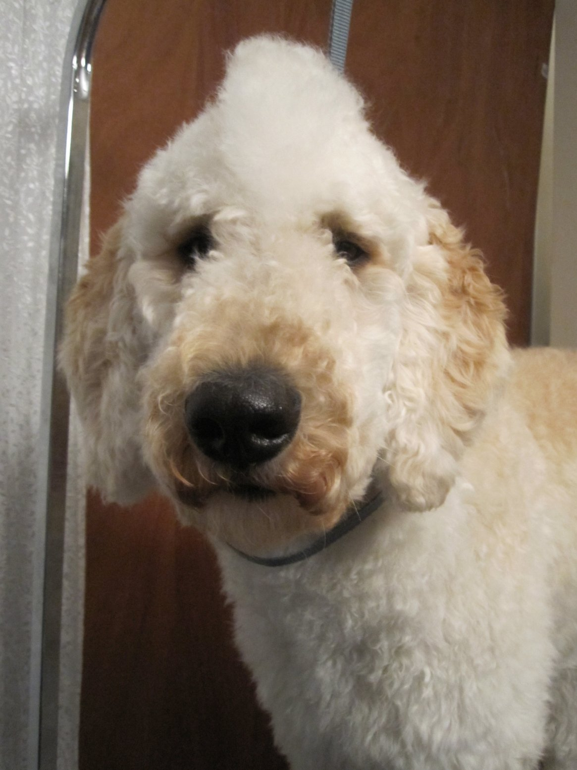 Leroy may NOT be a poodle!!-img_1789.jpg