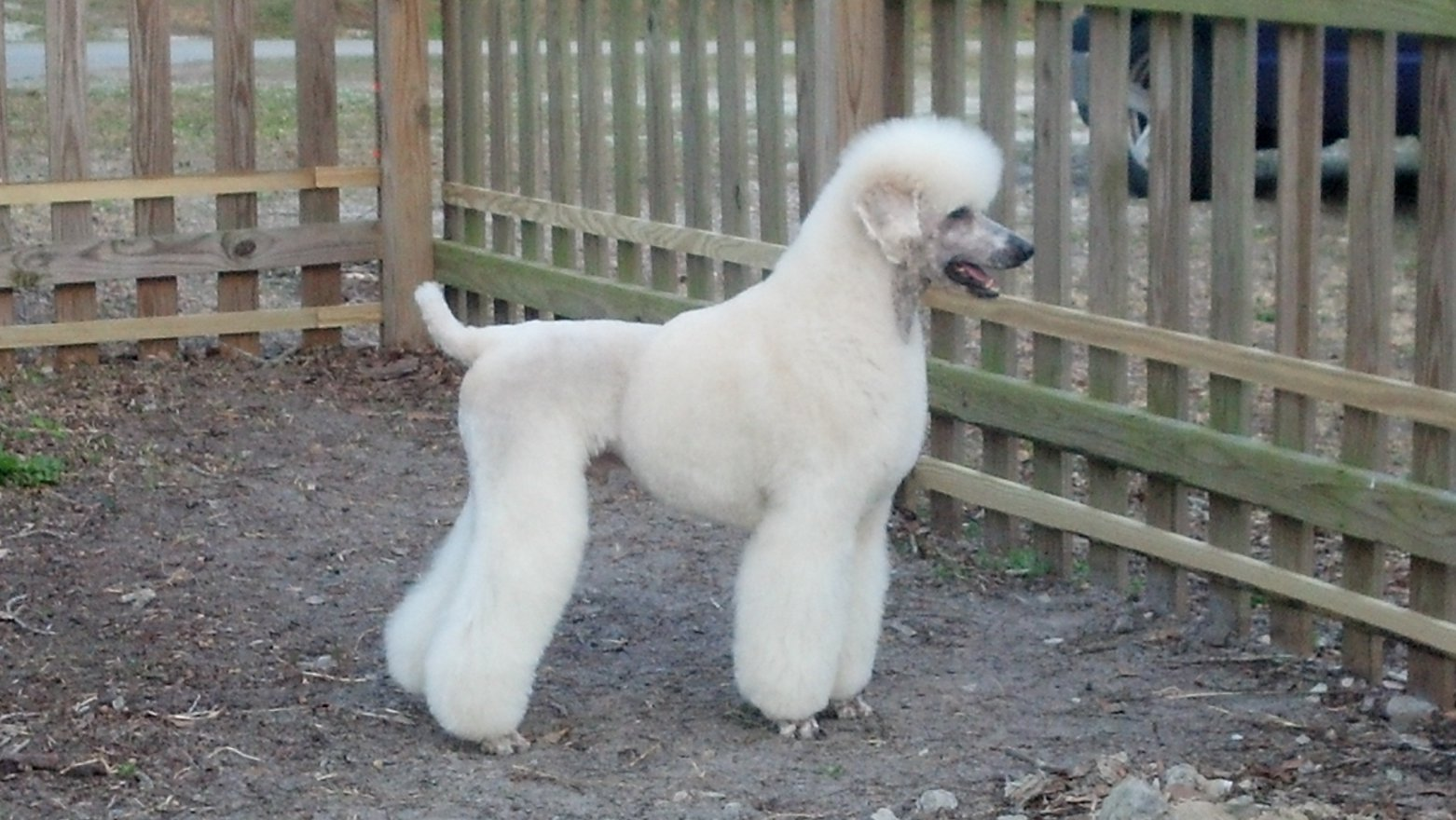 Lipomas In Standard Poodles Health – Search Results – Home Design
