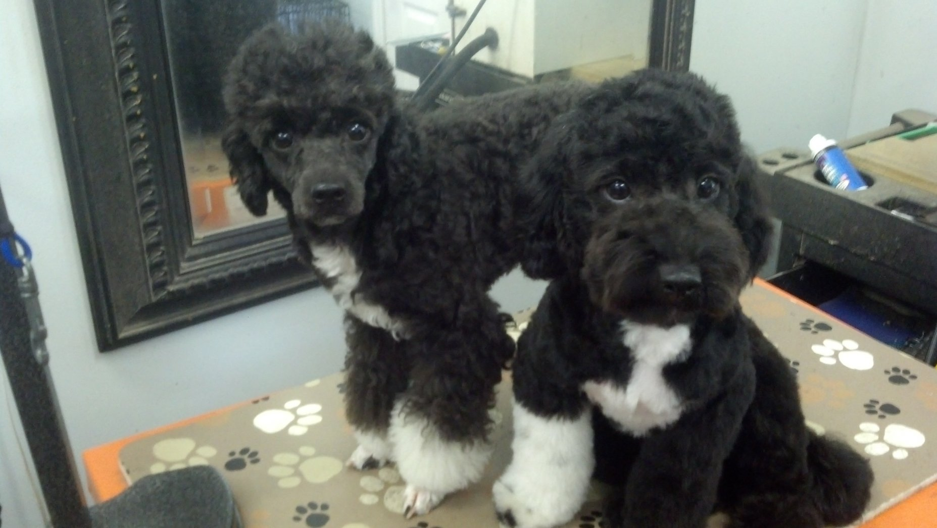 Abstract Poodles Poodle Forum