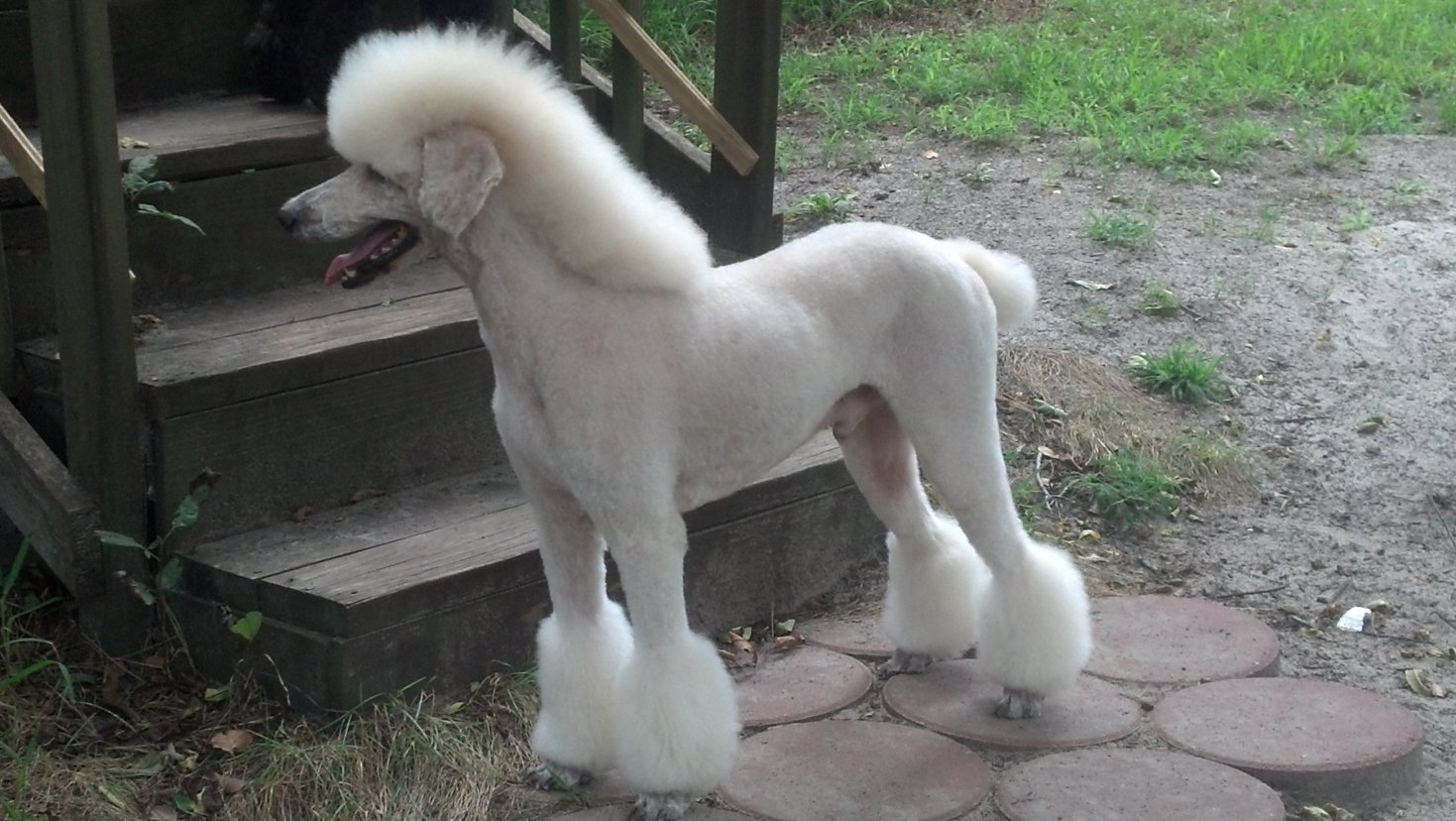 Toy poodle height growth chart dogs in our life photo blog toy poodle height growth chart nvjuhfo Images