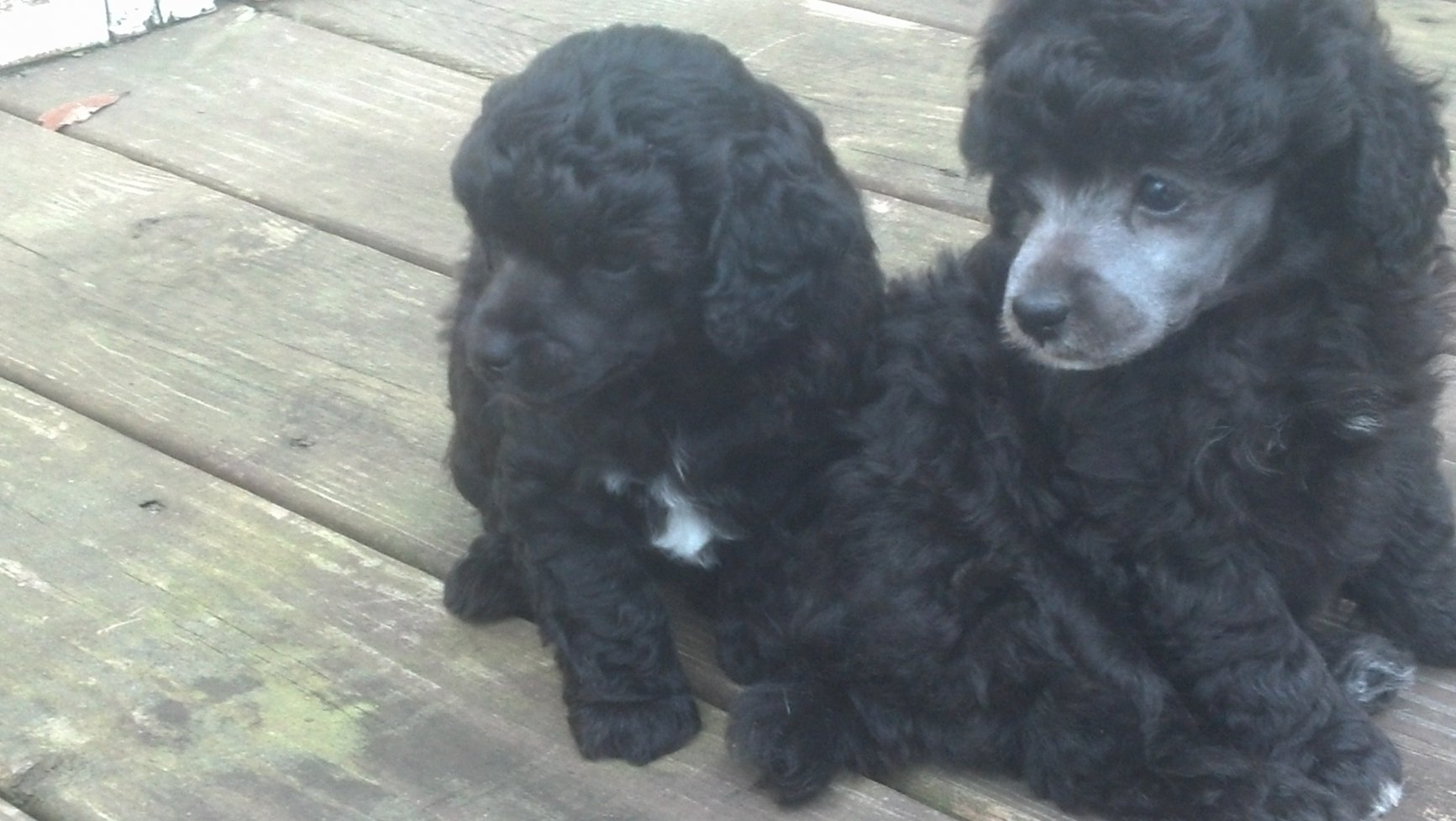 Black pups with white hairs in pads equals blue? - Poodle Forum