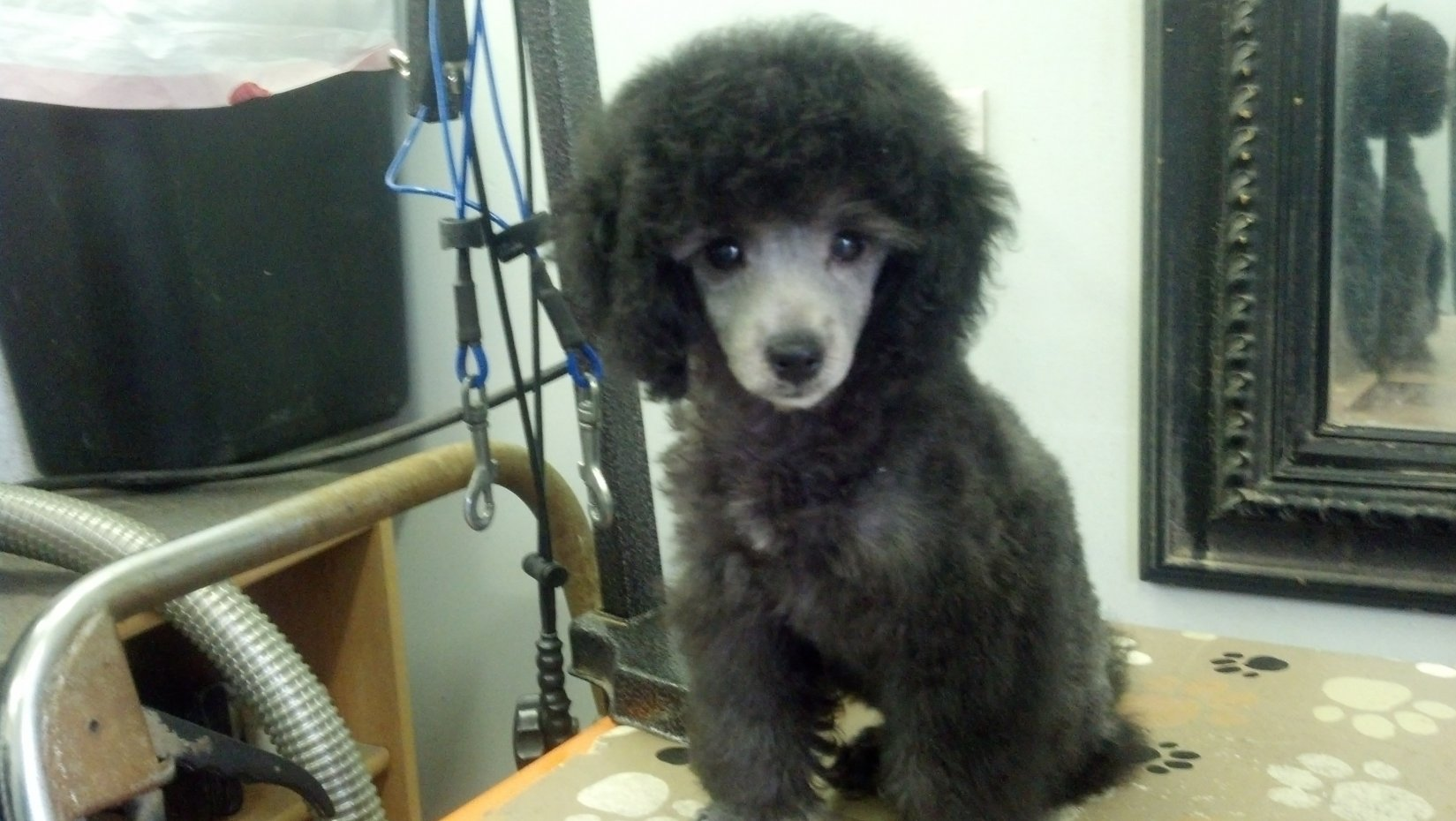 The Silver Poodle Thread-img_20131123_132939_404.jpg