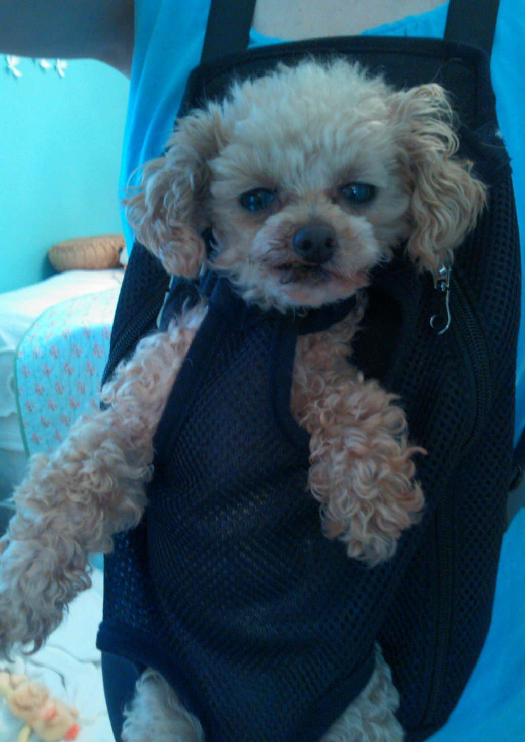 Is my poodle toy or miniature