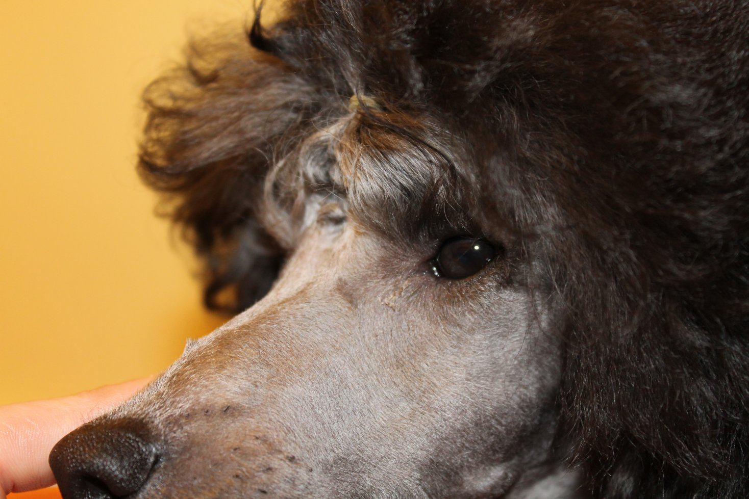 Eyelash Hairs Page 2 Poodle Forum Standard Poodle Toy Poodle