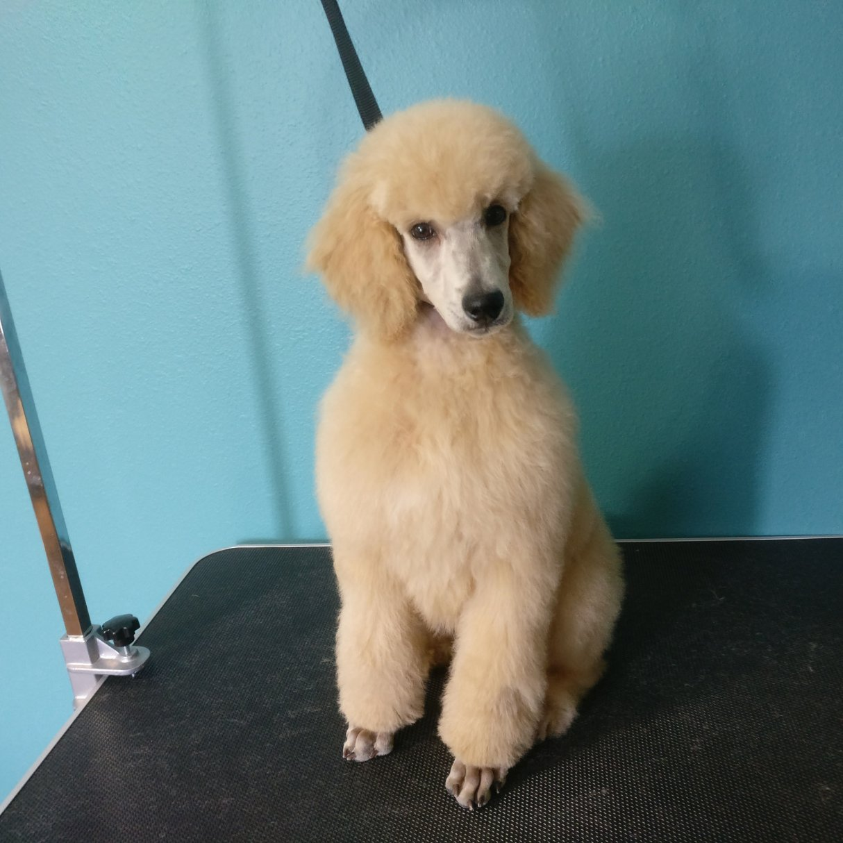 Puppy Groom Training Poodle Forum