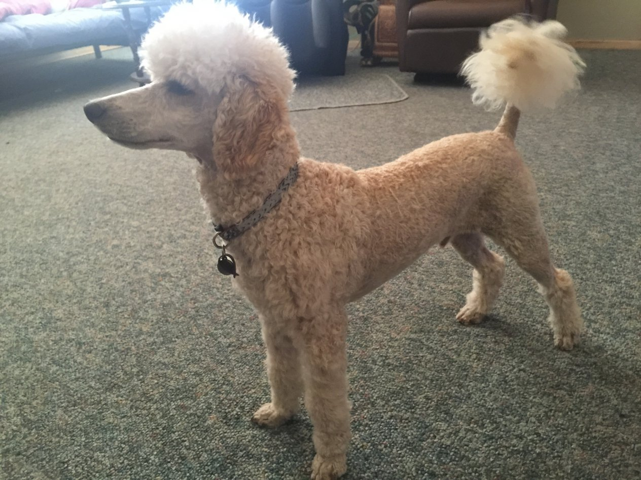 What Does Your Groomed Poodle Look Like Page 2 Poodle Forum