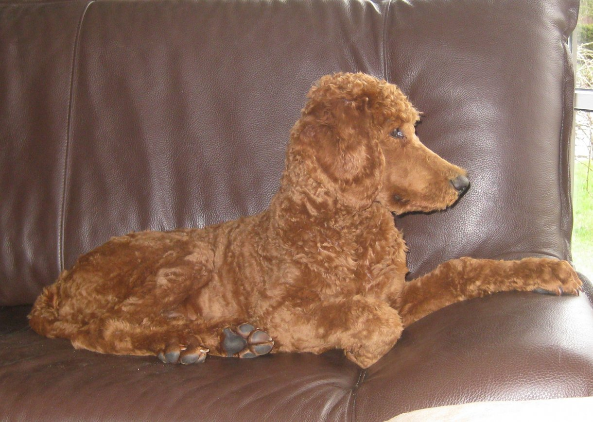 The Red Poodle Thread-img_2510.jpg