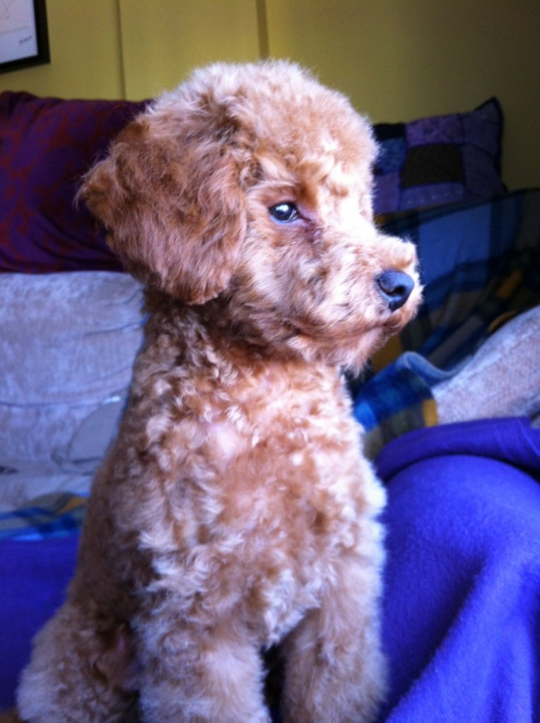 The Red Poodle Thread-img_2570_small.jpg