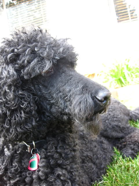 Leroy may NOT be a poodle!!-img_2813.jpg