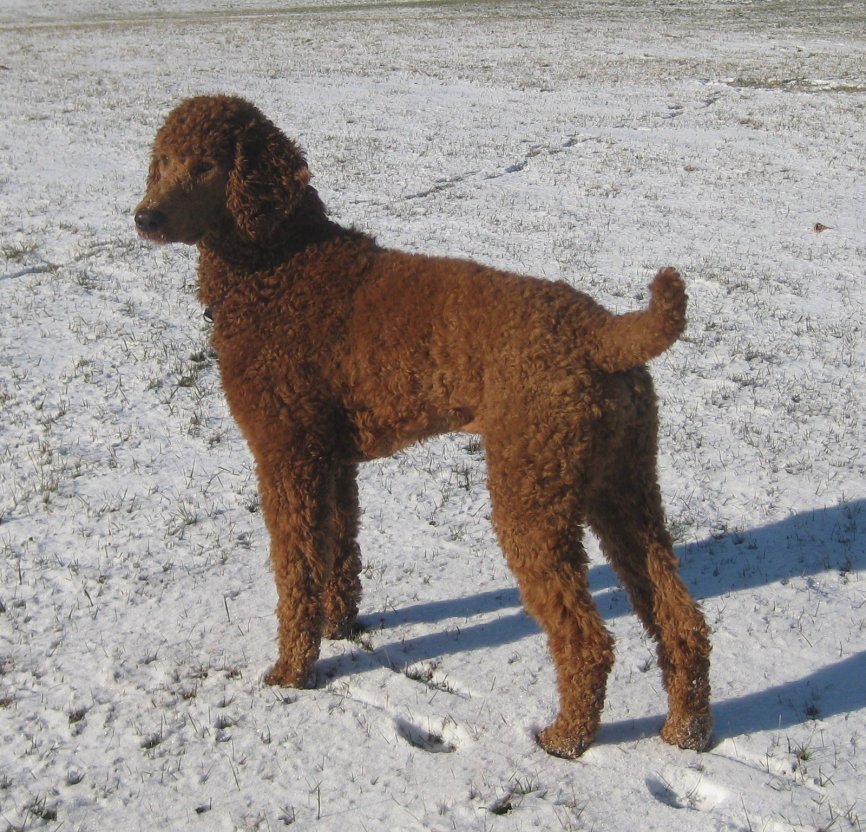 The Red Poodle Thread-img_2998.jpg