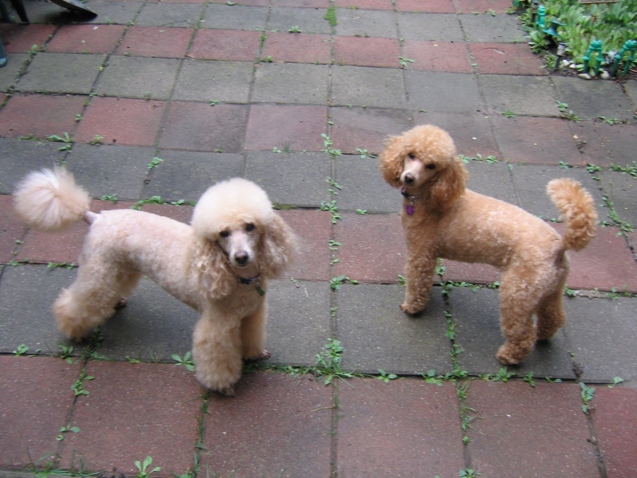 Miniature poodles with long tails-img_3022.jpg