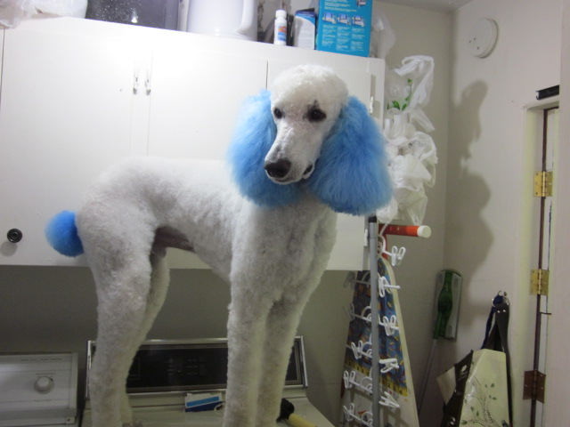 Blue Dyed Standard Poodle Reactions to Dyed Dogs