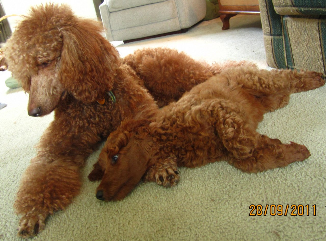 The Red Poodle Thread-img_3831.jpg
