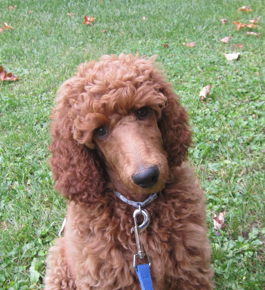 The Red Poodle Thread-img_4038a.jpg