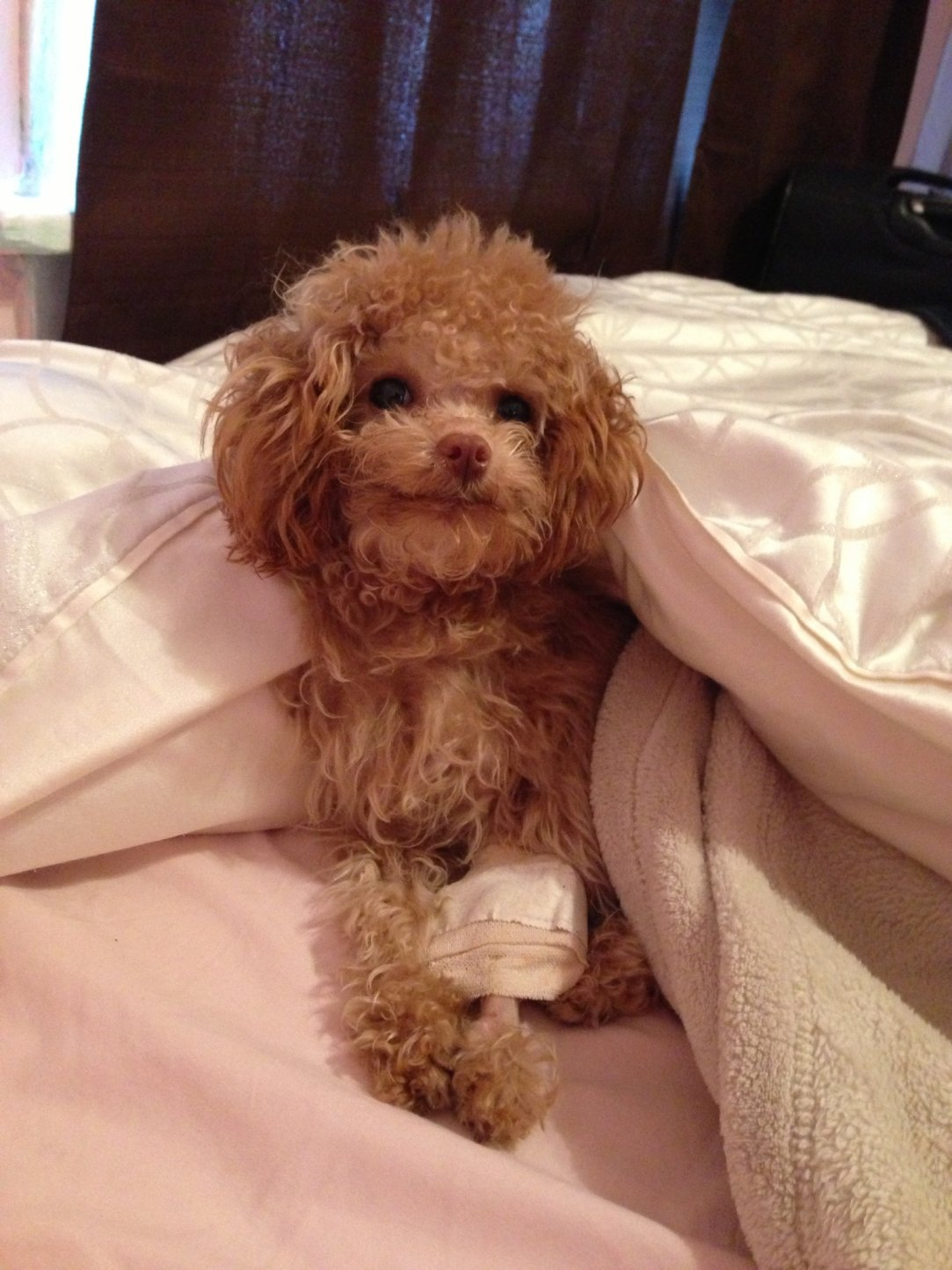 10 month old tiny toy poodle with broken leg :(-img_4562.jpg