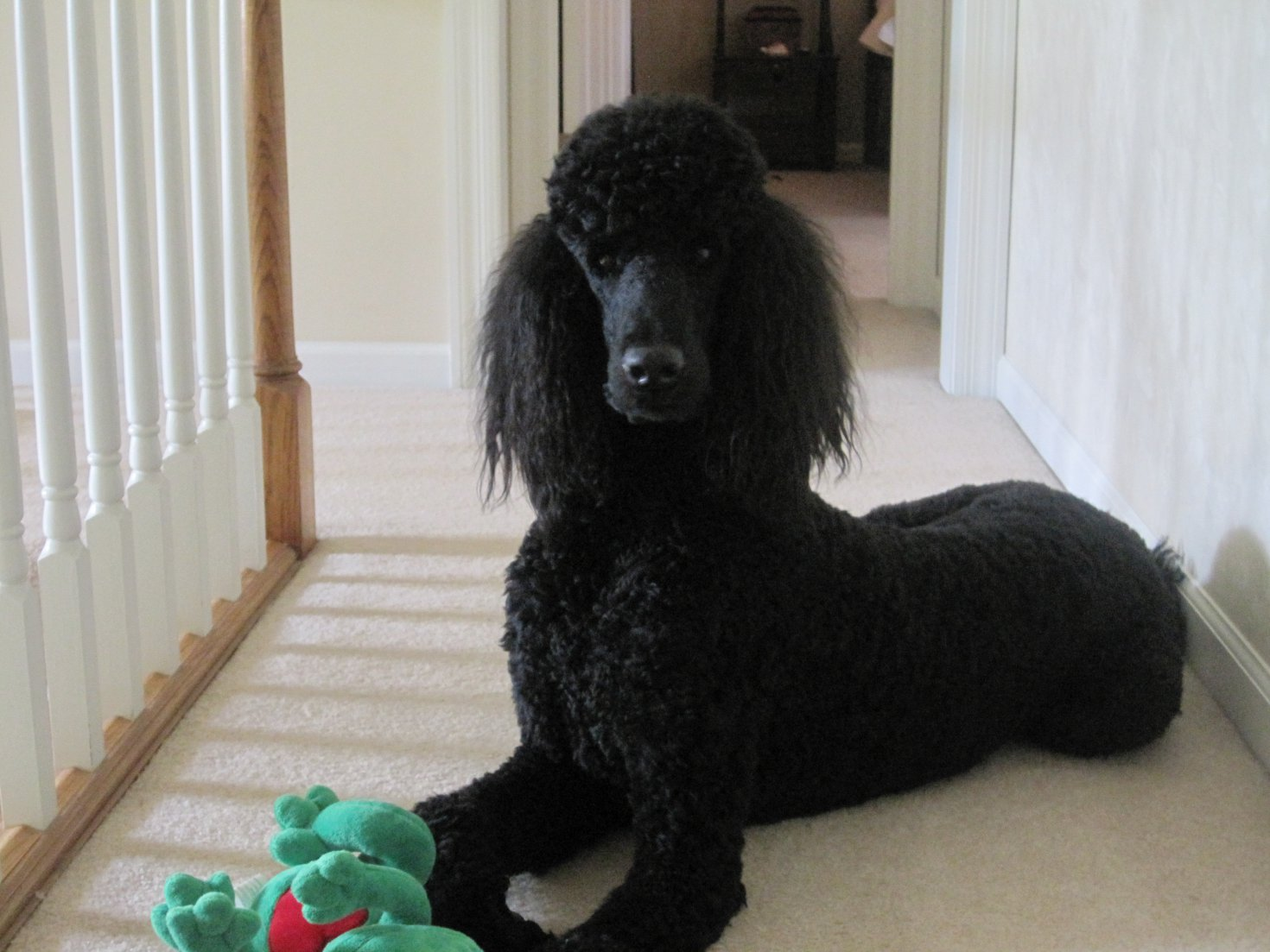 You knew you had a poodle when (scary poodle intelligence) . . . .-img_5724.jpg