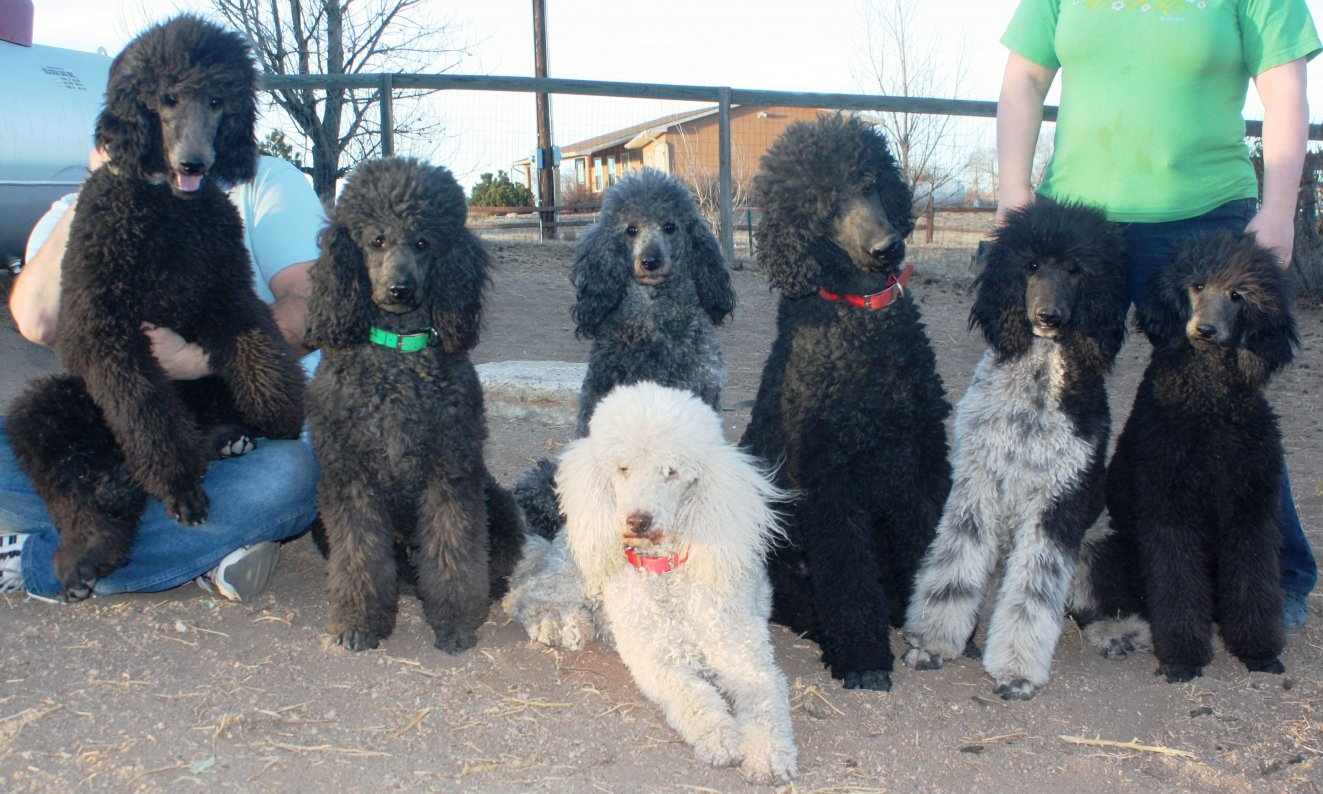 Our poodle pack-img_7456edit.jpg