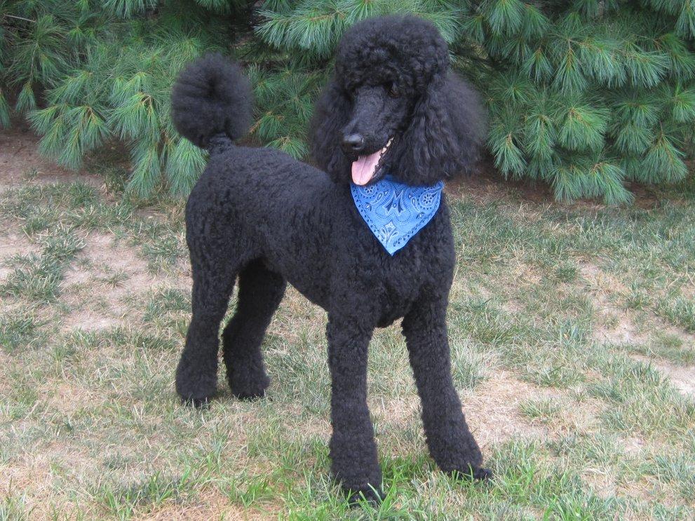 Henrys Next Haircut Poodle Forum Standard Poodle Toy Poodle