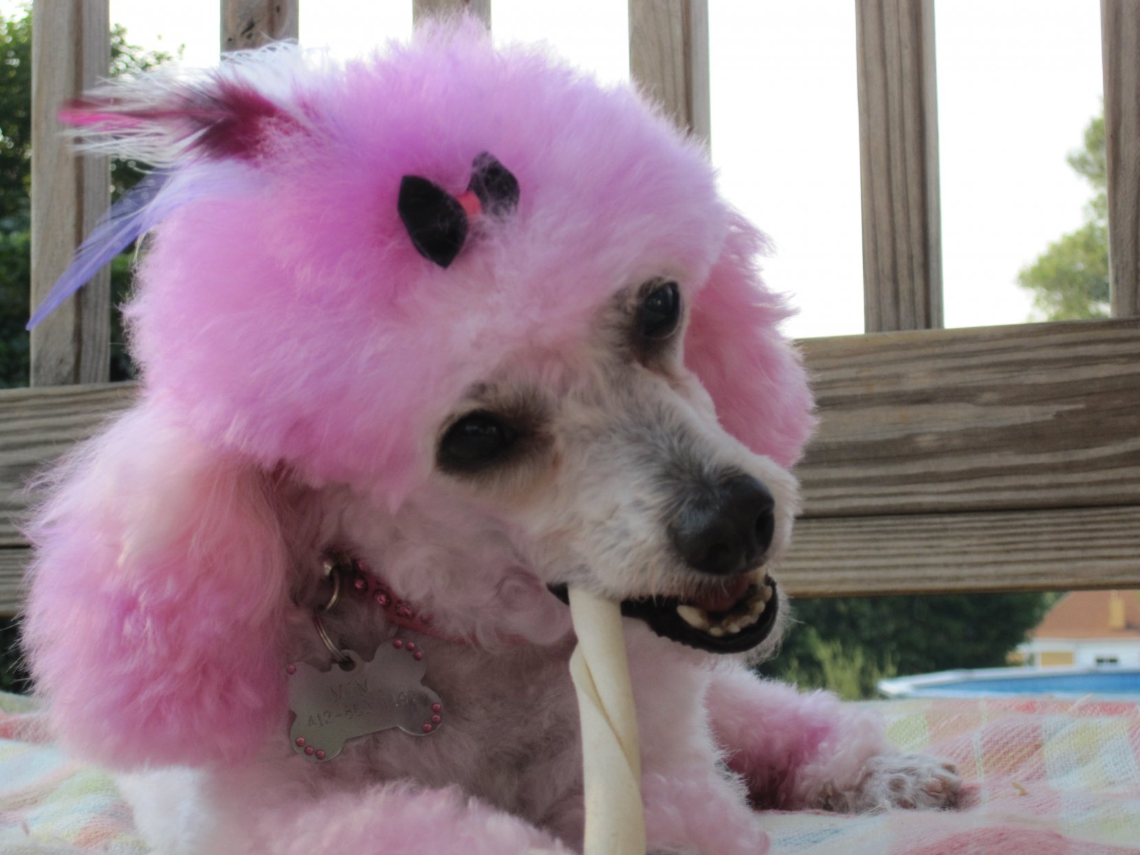 Cotton Candy Poodles-img_8736.jpg