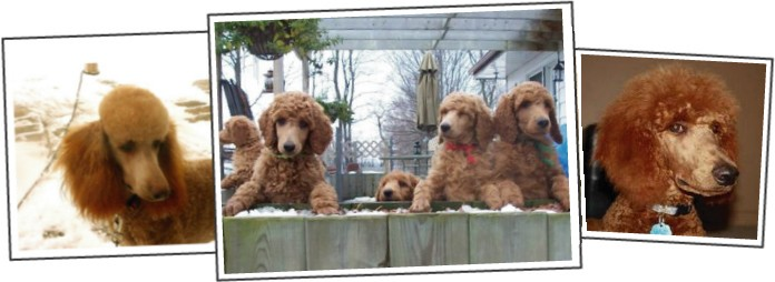 Non-Fading Red Standard Poodles?  fact or fiction?-jackson-web-site.jpg