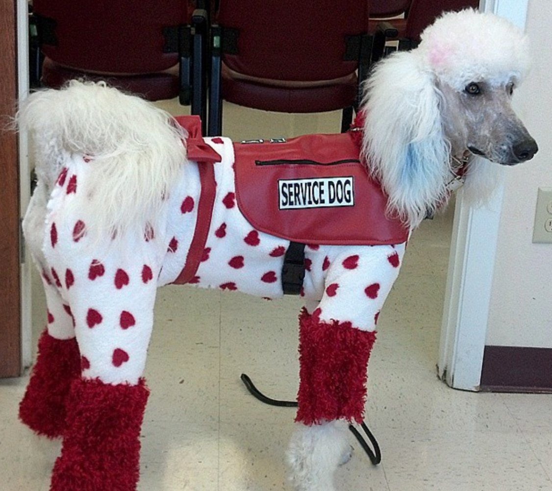 An End To Fake Service Dogs Page 3 Poodle Forum Standard