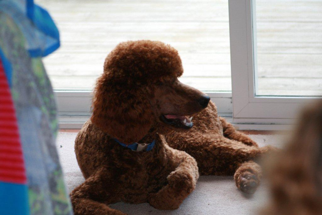 The Red Poodle Thread-kiegan-july-4.jpg