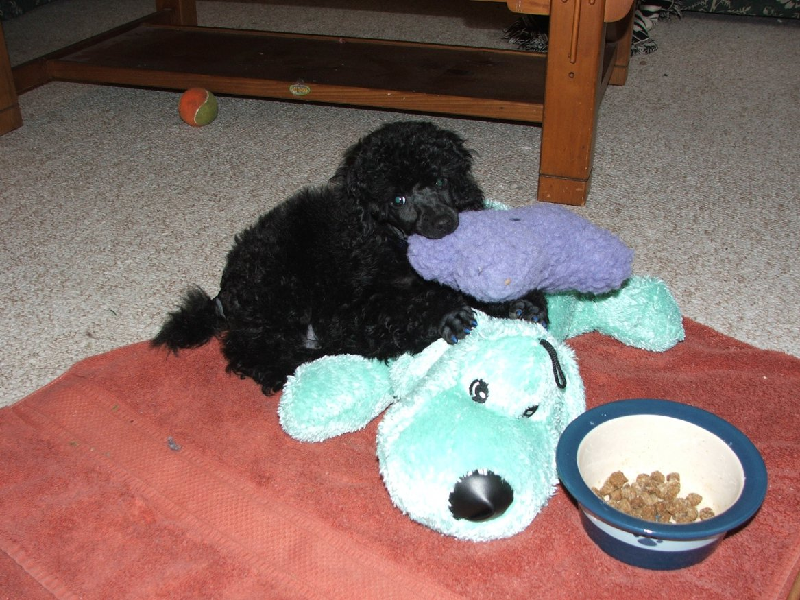Post your puppy pictures! :D-kodi-first-day-home.jpg