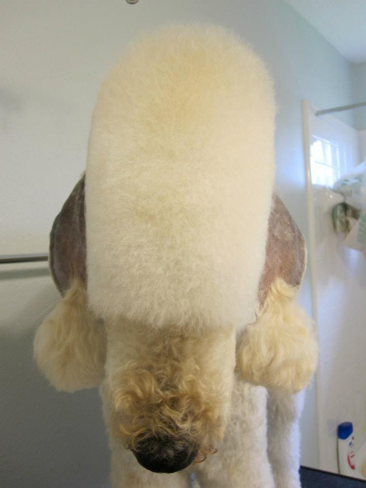 Leroy in a Bedlington Trim-l1.jpg