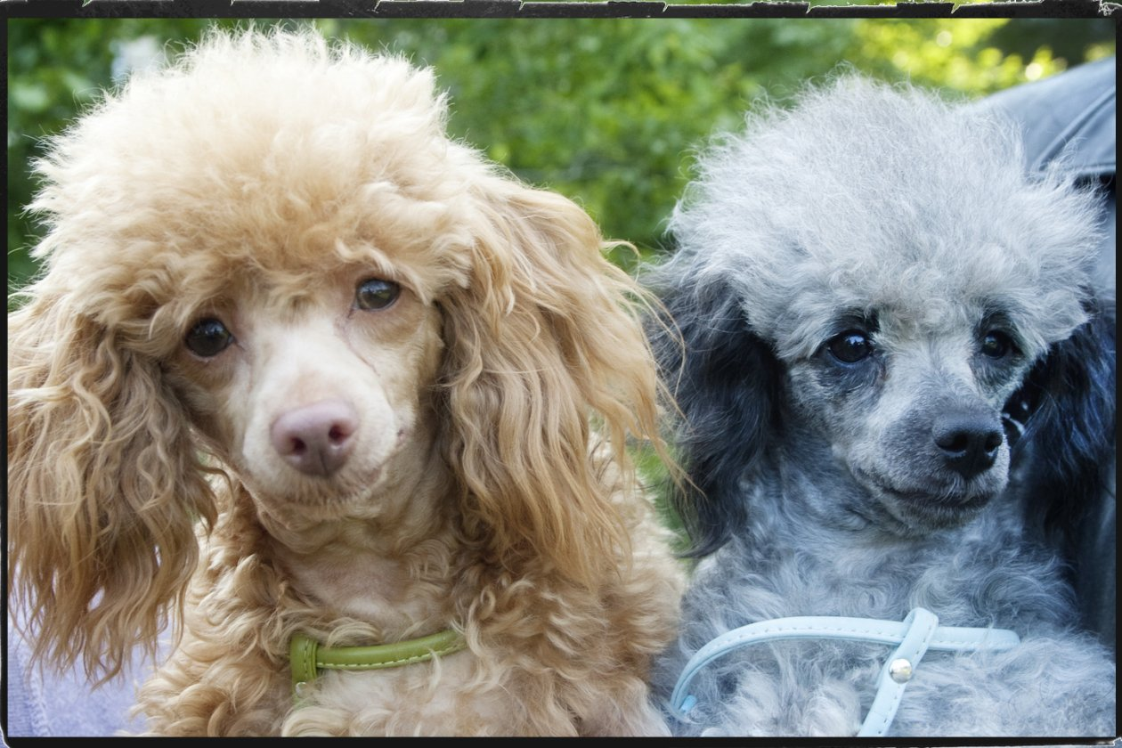 Related Pictures teacup poodle and is she spoiled anyone know the best ...