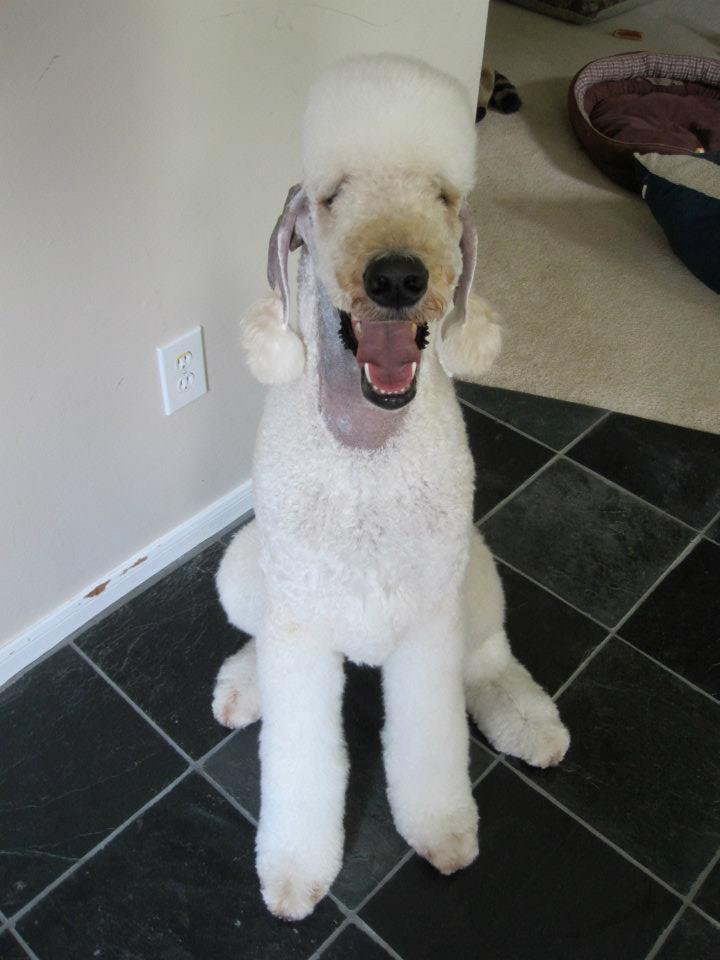 Leroy in a Bedlington Trim-ld.jpg